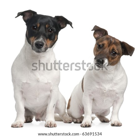 Jack Russell Terriers, 4 and 2 years old, sitting in front of white background - stock photo