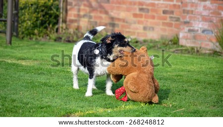 Jack Russell with her teddy bear - stock photo