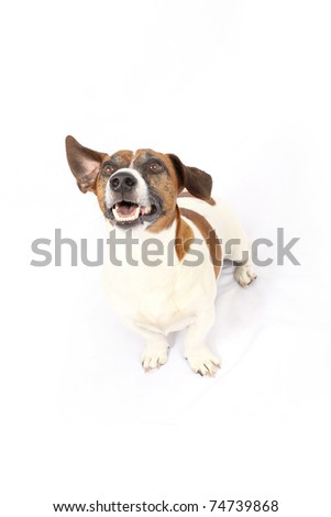 Jack Russell with one ear up - stock photo