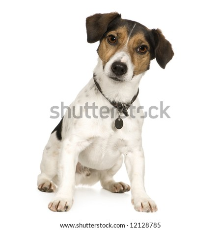 Jack russell (4 years) in front of a white background