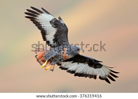 Jackal buzzard (Buteo rufofuscus) in flight with outstretched wings, South Africa