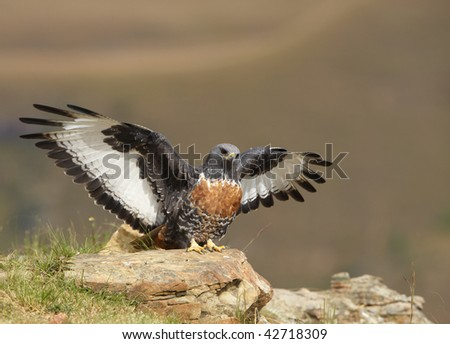Jackal Buzzard (Buteo rufofuscus) in sitting on a rock looking for prey in South Africa - stock photo