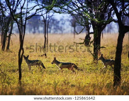 Jackals group on savanna. Safari in Serengeti, Tanzania, Africa
