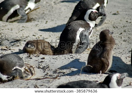 Jackass or black-footed penguins with chicks on Boulder Beach, Cape Town, South Africa
