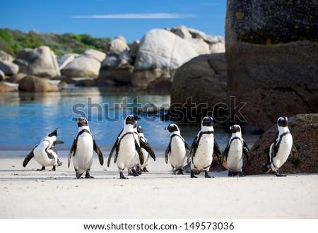 Jackass penguin march - stock photo
