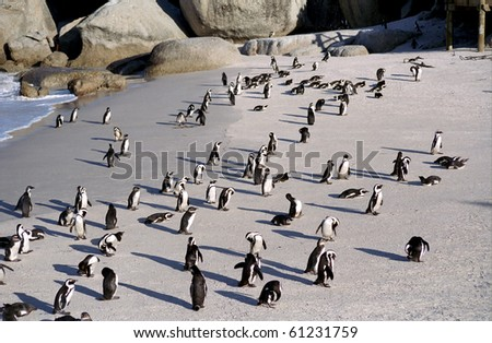 Jackass penguins, Cape of Good Hope, South Africa - stock photo