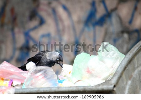 jackdaw ( Corvus monedula ) garbage dump dustbin outdoor - stock photo
