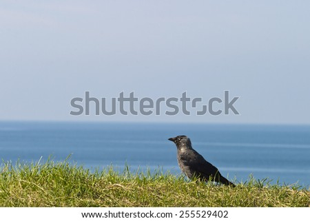 Jackdaw who sits on the ground and watching - stock photo