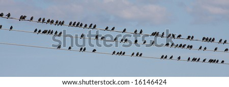jackdaws, crows - stock photo