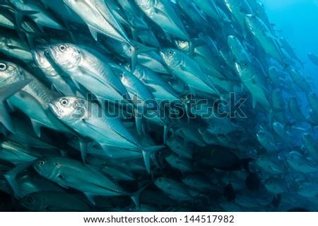 Jacks from the sea of cortez. Baja, Mexico - stock photo