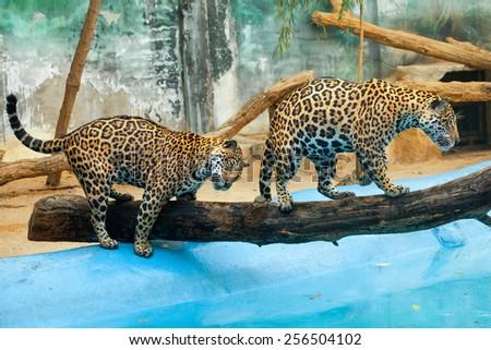 jaguar - stock photo