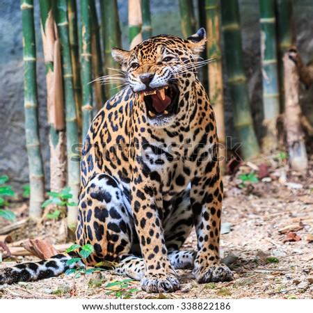 Jaguar and leopard - stock photo