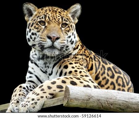 Jaguar closeup on black background - stock photo