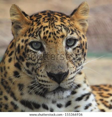 jaguar face illustration - photo #33