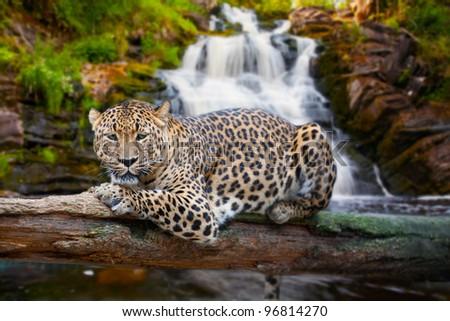 jaguar has a rest against falls - stock photo