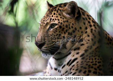 jaguar, head and neck close-up - stock photo