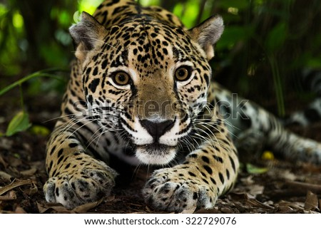 Jaguar on jungle floor - stock photo