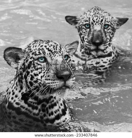 Jaguar, Panther - stock photo