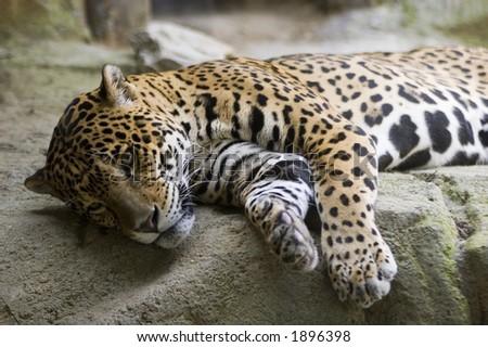 Jaguar (Panthera onca) - stock photo