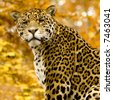 Jaguar - Panthera onca in front of a white background - stock photo