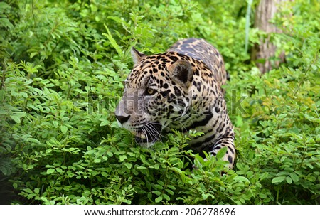 jaguar ( Panthera onca ) in nature - stock photo