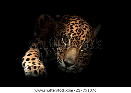 jaguar ( Panthera onca ) in the dark night - stock photo