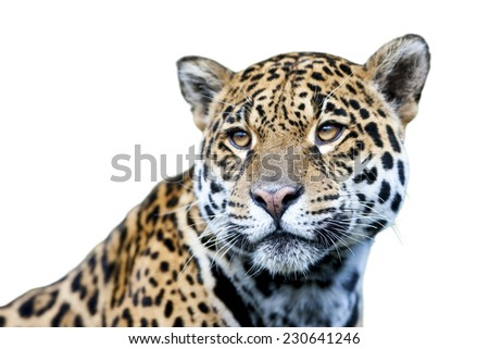 Jaguar - Panthera onca, isolated on white - stock photo