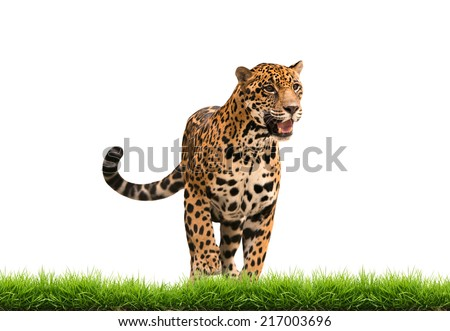 jaguar ( panthera onca ) with green grass isolated on white backgrond - stock photo