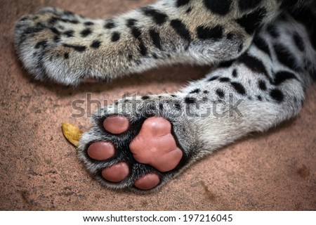 Jaguar Paw Stock Photo...