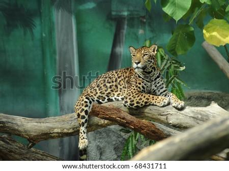 jaguar tiger cat in zoo - stock photo