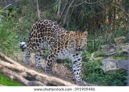 Jaguar walking - stock photo