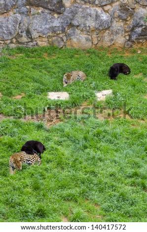 Jaguars resting in Cabarceno natural parck, Spain - stock photo