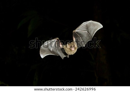 Jamaican fruit bat (Artibeus jamaicensis) flying at night, Tortuguero, Costa Rica. - stock photo