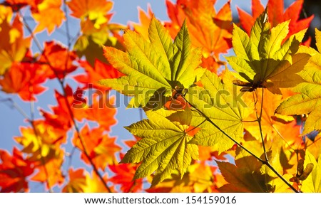 Japanese acer leaves revealing the beautiful autumnal colours of the changing seasons. - stock photo
