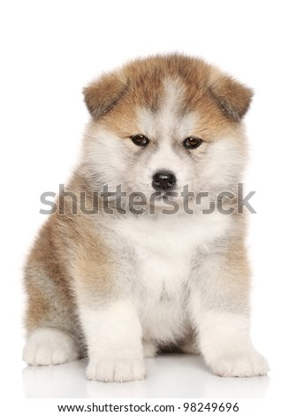 Japanese Akita-inu, akita inu dog puppy sits on a white background. - stock photo