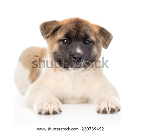 japanese akita inu puppy dog lying in front and looking at camera. isolated on white background - stock photo