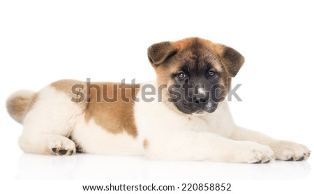 japanese akita inu puppy dog lying in profile and looking at camera. isolated on white background - stock photo