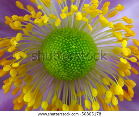 Japanese Anenome (Ranunculaceae) - Macro - stock photo