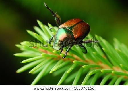 Japanese beetle on tree (Popillia japonica) - stock photo