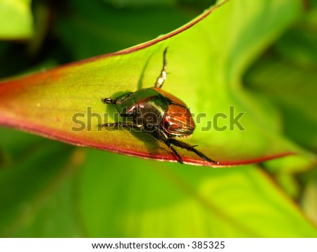 Japanese Beetle Ready to Eat - stock photo