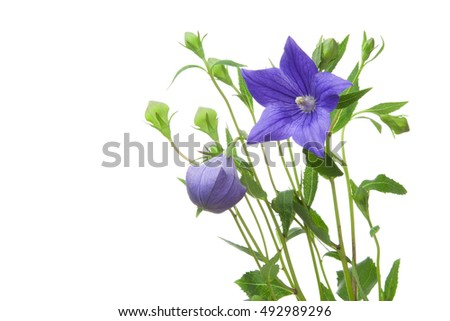 Japanese bellflower, kikyo, isolated white background