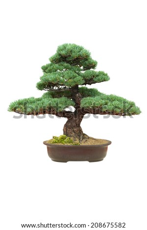 japanese bonsai tree isolated pinus parviflora - stock photo