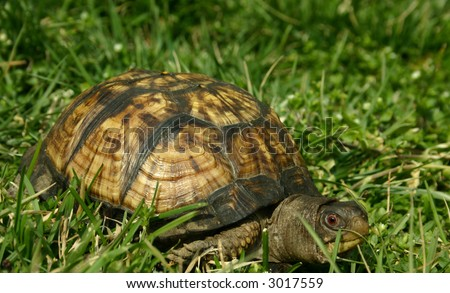 Japanese Box Turtle in the Grass - stock photo