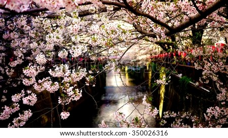 Japanese cherry and river