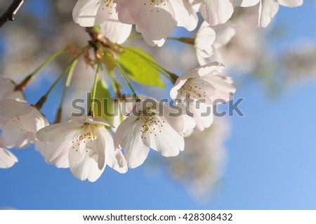 Japanese cherry blossom trees in the morning light. Flowering tree branches on a bright blue background - stock photo
