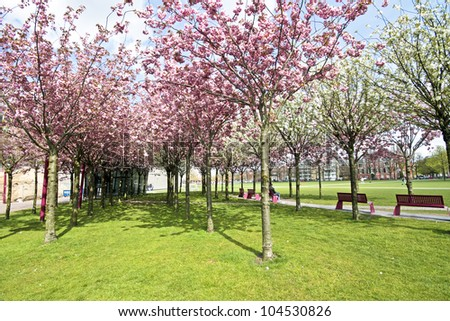 Japanese cherry trees blossoming in spring at the Museumplein in Amsterdam the Netherlands - stock photo