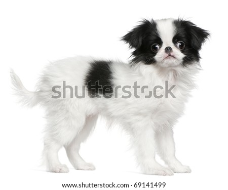 Japanese Chin puppy or Japanese Spaniel, 3 months old, standing in front of white background