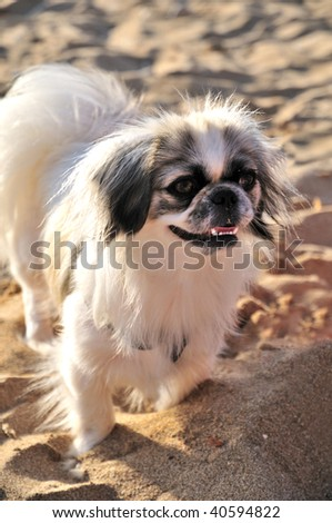 Japanese Chin running on the beach at summer time