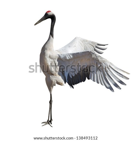 Japanese crane courtship dance isolated on white background