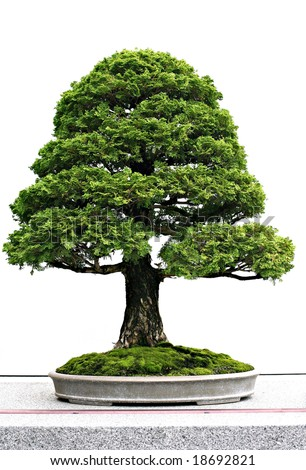Japanese Evergreen Bonsai - stock photo